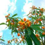 枇杷(びわ)の葉のハーブボールのレシピ【ハーブボールマイスター講座 第22回】